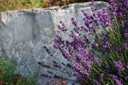 Blumengarten Lavendel Lavandula Angustifolia