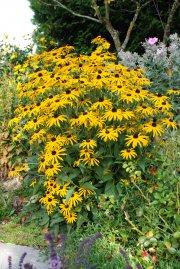 Blumengarten Sonnenhut Rudbeckia Hirta