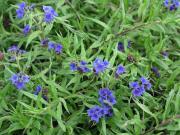 Blumengarten Steinsame Buglossoides Purpurocaerulea
