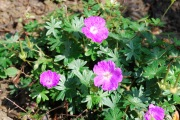 Blumengarten Storchenschnabel Geranium S. Max Frei