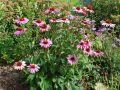 Blumengarten Sonnenhut Echinacea Purpurea